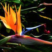 Bird Of Paradise Flower Art Print by Brian Harig