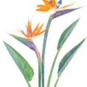 Bird Of Paradize Flowers Art Print