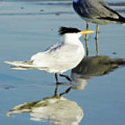 Bird - Tern - Reflection Art Print