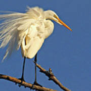 Birds - Great Egret Art Print