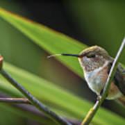 Birds Of Bc - No. 31 - Rufous Hummingbird - Selasphorus Rufus Art Print