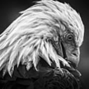 Birds Of Bc - No.30 - Bald Eagle - Keeping Clean Art Print