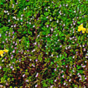 Birdsfoot Trefoil Surrounded By Tiny Bright Eyes In Campground In Saginaw-minnesota Art Print