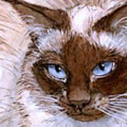 Birman Cat - Blue Eyes. Art Print