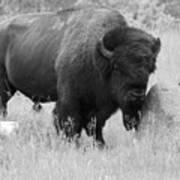 Bison And Buffalo Art Print
