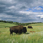 Bison And Their Calves Graze In Custer Art Print