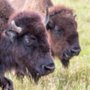 Bison Closeup View Art Print