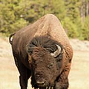 Bison Art Print by Corinna Stoeffl, Stoeffl Photography