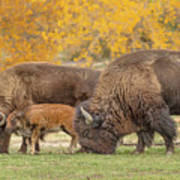 Bison Family Nation Art Print