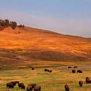 Bison Grazing On Hill At Hayden Valley Art Print