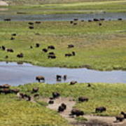 Bison Herd And Yellowstone River Art Print