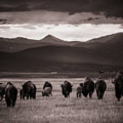 Bison Herd Into The Sunset - Bw Art Print