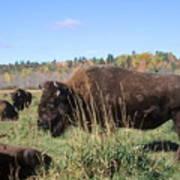 Bison Home On The Range Art Print