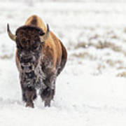 Bison In Snow Art Print