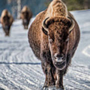 Bison In The Road - Yellowstone Art Print