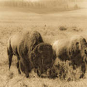 Bison Pair Art Print