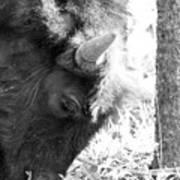 Bison Portrait Monochrome Art Print