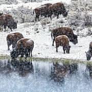 Bison Snow Reflecton Art Print