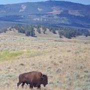 Bison Trail Art Print