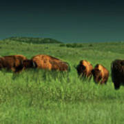 Bisons In The Prarie Art Print