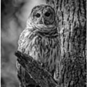 Black And White Barred Owl Art Print