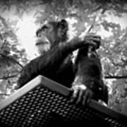 Black And White Chimpanzee Art Print