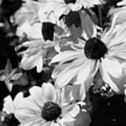 Black And White Coneflowers Art Print