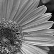 Black And White Gerber Daisy 5 Art Print