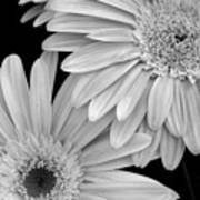 Black And White Gerbera Daisies 1 Art Print by Amy Fose