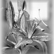 black and White Lily Art Print