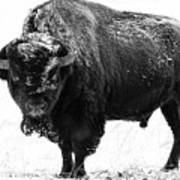 Black And White Of A Massive Bison Bull In The Snow  Art Print