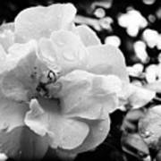 Black And White Rose Of Sharon Art Print by Eva Thomas
