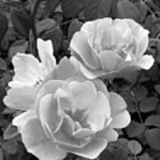 Black And White Roses 1 Art Print
