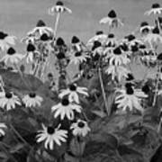 Black And White Susans Art Print