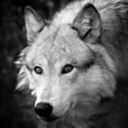 Black And White Wolf Art Print