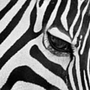 Black And White Zebra Close Up Art Print