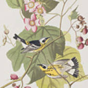 Black And Yellow Warblers Art Print