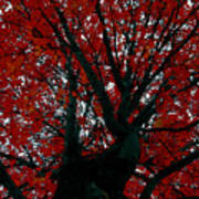 Black Bark Red Tree Art Print