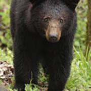 Black Bear At Cades Cove Art Print