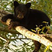 Black Bear Cub Resting On A Tree Branch Art Print