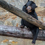 Black Bear Cub Sitting On Tree Trunk Art Print