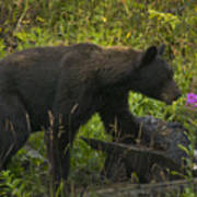 Black Bear-signed-#6549 Art Print