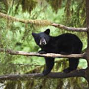 Black Bear Ursus Americanus Cub In Tree Art Print