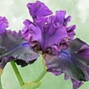 Black Bearded Iris Art Print