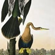 Black Billed Darter Art Print by John James Audubon