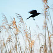 Black Bird In Cat Tails Art Print
