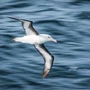 Black-browed Albatross Gliding Over Deep Blue Waves Art Print