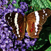 Black Butterfly On Heliotrope Art Print