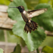 Black-chinned Hummingbird Art Print