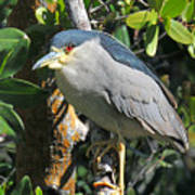 Black Crowned Night Heron Art Print
